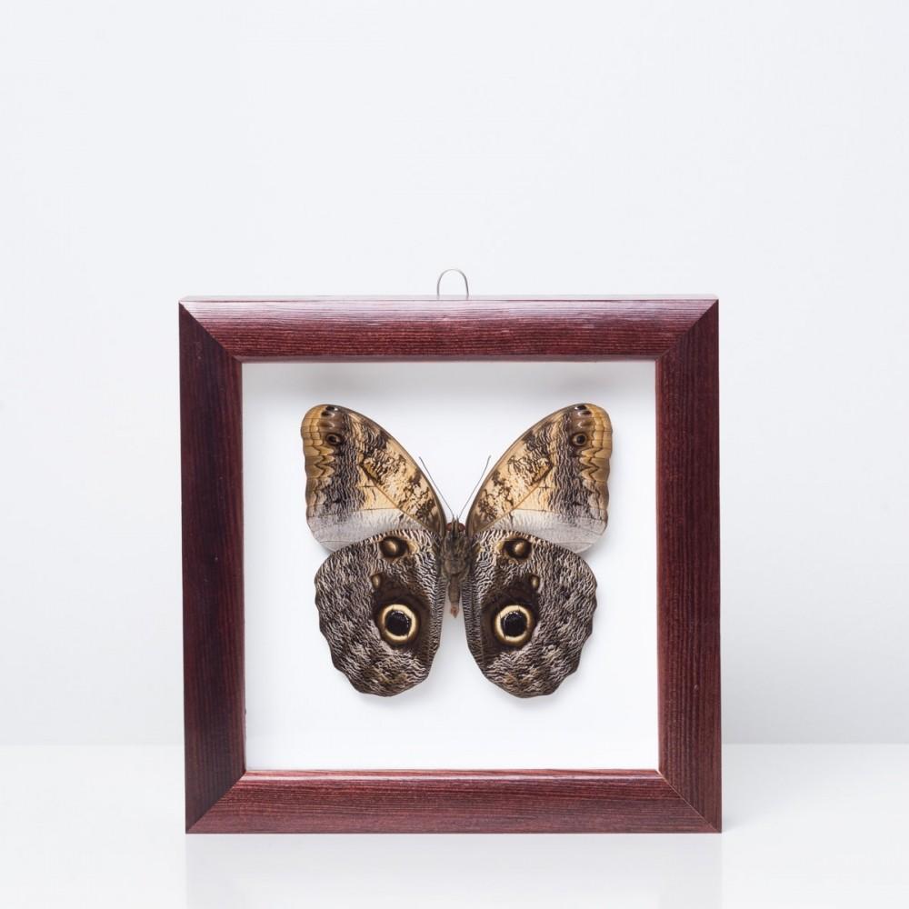 Caligo memnon drugelis rėmelyje baltame fone