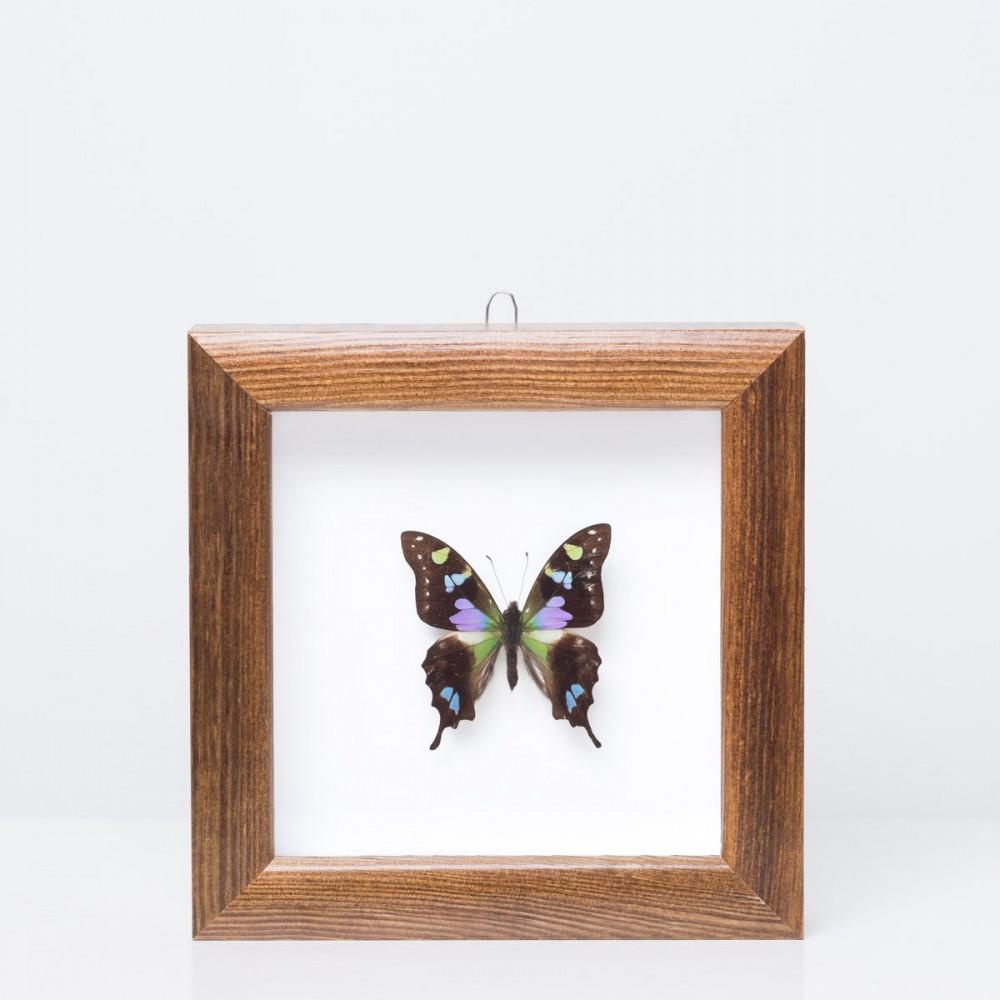 Framed 'Graphium weiskei' butterfly