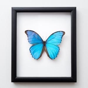 Framed 'Morpho didius' butterfly
