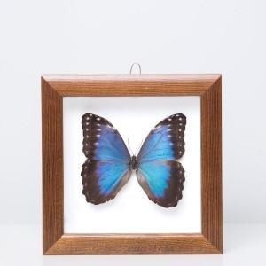 Framed 'Morpho peleides' butterfly