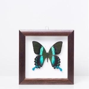 Framed 'Papilio blumei' butterfly