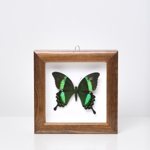 Framed 'Papilio palinurus' butterfly