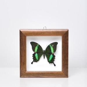 Papilio Palinurus drugelis rėmelyje