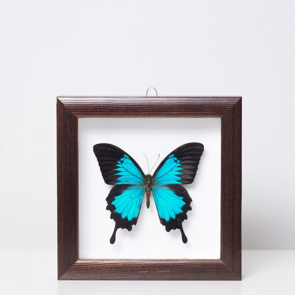 Framed 'Papilio ulysses' butterfly