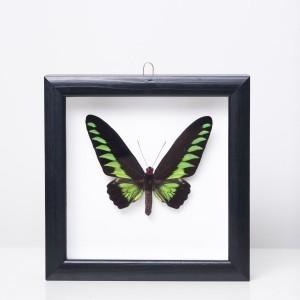 Trogonoptera brookiana drugelis rėmelyje