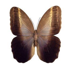 Caligo memnon drugelis (iš apačios)