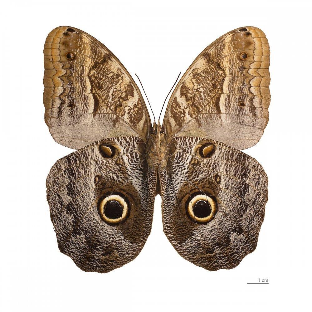 Caligo memnon drugelis