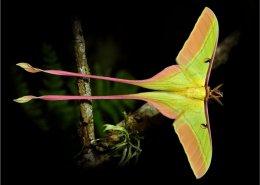 Actias dubernardi drugelis