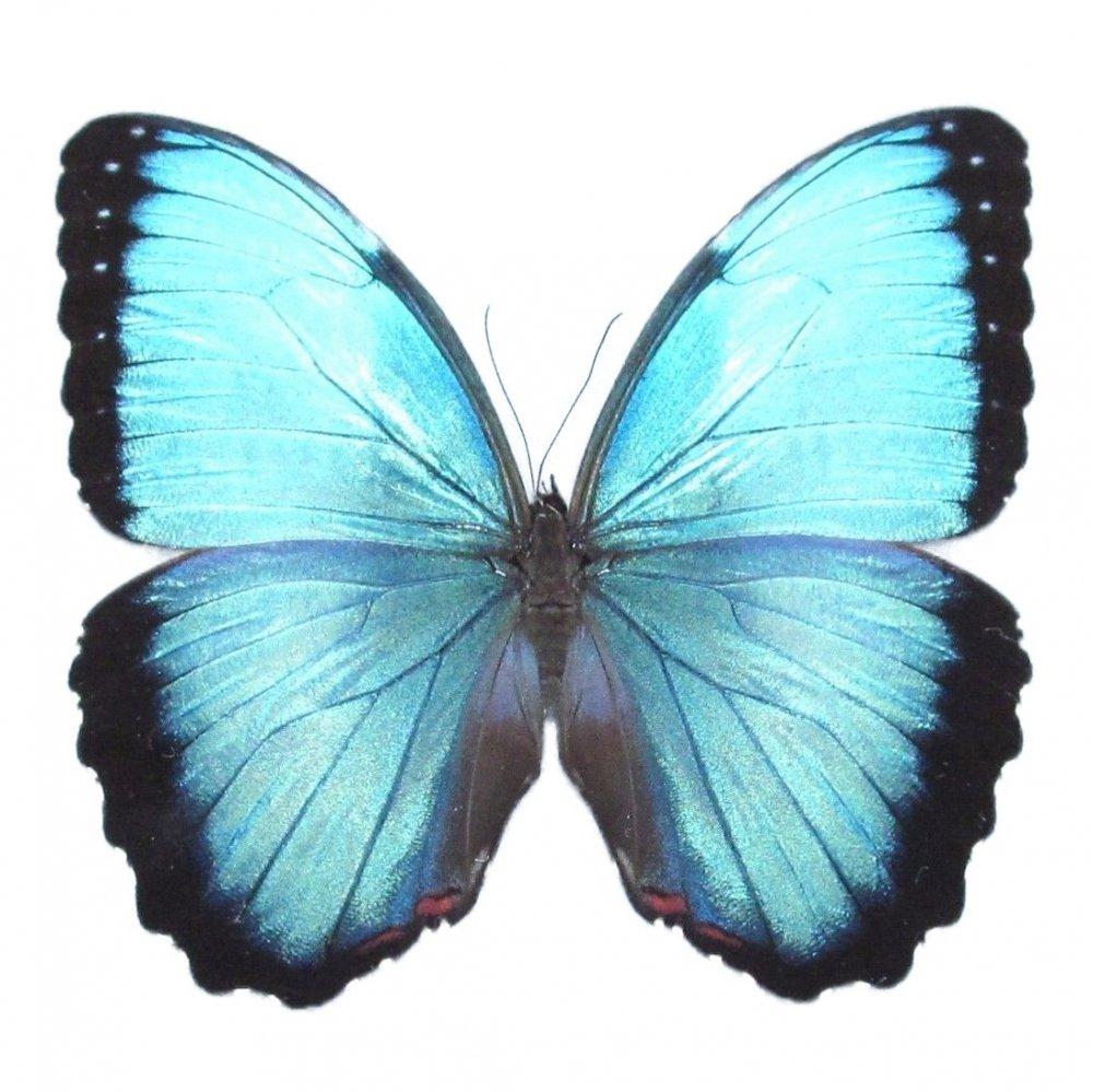 Morpho peleides drugelis
