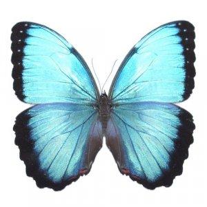 Užsiaugink drugelį pats