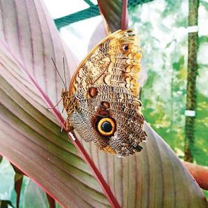 Tropinis drugelis, tupintis ant lapo