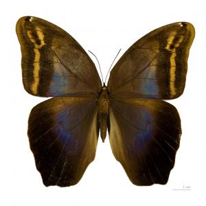 Eryphanis drugelis