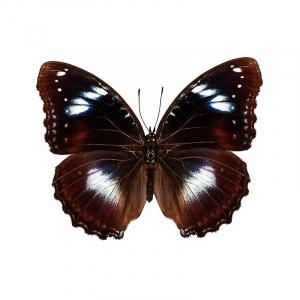 Hypolimnas bolina drugelis