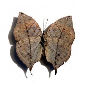 Kallima inachus drugelis