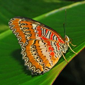 Cethosia biblis drugelis