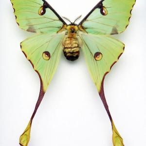 Argema mimosae drugelis
