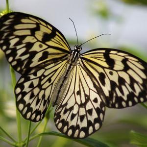 Idea leuconoe drugelis