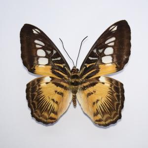 Parthenos sylvia drugelis